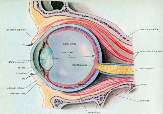 El Sistema Visual Humano